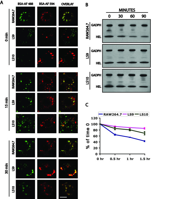 Trafficking and endocytosis defect of proteins in MCOLN1 RNAi clones . A) Confocal images of RAW264.7, LS9, and LS10 cells whose terminal compartments were pre-loaded with BSA-AlexaFluor 594 (BSA-AF 594, red). BSA-AlexaFluor 488 (BSA-AF 488, green) was added for 10 minutes to the cells and the cells were chased for the indicated times before fixation. Bar is 5 μm. B) Western blots of HEL that was endocytosed for 5 minutes and chased for the indicated times. C) Quantitation of the HEL that remains in cells relative to the 0 time point. Bars represent standard deviations from two independent assays.