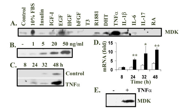 Midkine expression was induced by FBS, growth factors and cytokines. A . LNCaP cells were cultured in serum-free DMEM and treated for 48 h with 10% FBS and the indicated agents: 10 ng/ml insulin, 10 ng/ml IGF-I, 10 ng/ml EGF, 10 ng/ml HGF, 10 ng/ml bFGF, 20 ng/ml T3, 10 nM R1881, 10 nM DHT, 10 ng/ml TNFα, 10 ng/ml IL-1β, 50 ng/ml IL-6, 50 ng/ml IL-17, and 33.3 μM RA. B . LNCaP cells were treated with different dosages (1 to 50 ng/ml) of TNFα for 48 h. C . LNCaP cells were also treated with 20 ng/ml TNFα for different time periods (8 to 48 h). 20 μl of each medium supernatant was subjected to Western blot analysis of midkine expression using rabbit anti-midkine antibodies, horseradish peroxidase-conjungated secondary antibodies and enhanced chemiluminescence reagents. D . Total RNA was extracted from LNCaP cells not treated or treated with 20 ng/ml TNFα, using RNeasy Mini Kit; cDNA was made from total RNA using Superscript™ First-Strand Synthesis System with oligo dT primers; real-time quantitative PCR was done in triplicates with Sybr-Green reagents; results were normalized to GAPDH levels as described in Methods; the data (mean ± standard deviation of three independent experiments) were presented as fold change of midkine mRNA compared to the LNCaP cells without treatment for 8 h, where fold = 2 ΔΔCt ; solid bar, TNFα treated; open bar, control; * P