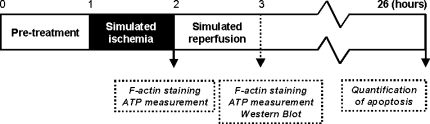 Schematic representation of the experimental protocol. Cells were pre-treated for 1 h with Y-27632, cytochalasinD, latrunculinA, jasplakinolide or wortmannin. One hour of simulated ischemia was followed by 1–24 h of simulated reperfusion. No reperfusion for ATP measurement and F-actin staining, 1 h for ATP measurement, F-actin staining and analysis of Akt activity by western blotting and 24 h for quantification of apoptosis. The drugs were also present during the reperfusion phase