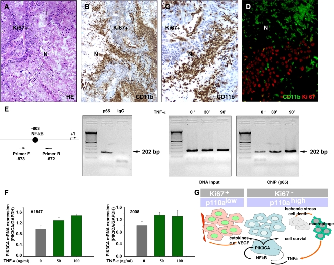 TNF-α regulates PIK3CA expression via NF-κB pathway. A. H E staining of 2008 tumor reveals a prominent area of necrosis (N). B and C. Immunohistochemical staining of murine CD11b reveals macrophage infiltrate in a 2008 xenograft. CD11b+ cells infiltrate tumors in Ki67-negative regions in proximity of necrosis. C. High magnification from B. D. Double immunostaining of CD11b (green, FITC) and Ki67 (red, Texas Red) reveals CD11b+ macrophages mainly in non-proliferating Ki67-negative regions. E. ChIP analysis of NF-κB binding to the endogenous PIK3CA promoter. The arrows indicate the positions of the primers flanking −803 NF-κB binding site that were used in the ChIP assays. Cells were treated with TNF-α for 0, 30, or 90 min, and then chromatin protein-DNA complexes were cross-linked using formaldehyde. The purified nucleoprotein complexes were immunoprecipitated with p65 antibody or non-immune IgG and amplified by PCR. F. PIK3CA mRNA expression levels after stimulation with pro-inflammatory cytokine TNF-α. G. Illustration of the transcriptional regulation of PIK3CA by NF-κB.