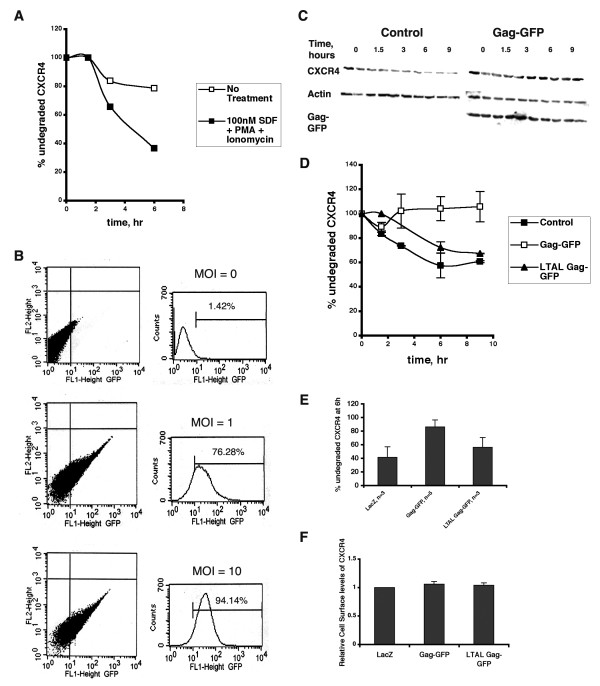 HIV-1 Gag attenuates SDF-induced CXCR4 downregulation in Jurkat T cells . (A) Jurkat T cells were pre-treated with cycloheximide, then incubated in the presence (filled squares) or absence (open squares) of SDF, PMA and ionomycin for the indicated times. At each time point, cells were lysed and analysed by SDS-PAGE and Western blotting with an anti-CXCR4 polyclonal antibody. Western blots were quantitated and amount of CXCR4 remaining at each time point was determined as a percent of amount of CXCR4 at 0 hour. Data from one representative experiment (out of three) is shown. (B) Jurkat T cells were transduced with Gag-GFP encoding lentiviruses at the indicated MOIs. 48 hours post transduction, cells were analyzed for GFP fluorescence by flow cytometry. The % of GFP positive cells is indicated for each MOI. (C) A representative gel depicting CXCR4 levels in Jurkat T cells transduced with lentiviruses encoding wild-type Gag-GFP and treated as described in (A) is shown. Control represents untransduced cells. (D) Quantitation of the gel shown in (C). Additionally, degradation of CXCR4 in Jurkat T cells transduced with lentiviruses encoding LTAL Gag-GFP is shown. Error bars represent standard deviation between duplicates at each time point. (E) Jurkat T cells were transduced with lentivirus encoding LacZ (control), Gag-GFP or LTAL Gag-GFP. Data shown represents the mean ± SD of % undegraded CXCR4 remaining after 6 hours of incubation with SDF, PMA and ionomycin. (F) Cell surface levels of CXCR4 in Jurkat T cells expressing LacZ, Gag-GFP or LTAL Gag-GFP were determined 48 hours post transduction by flow cytometric analysis of cells stained with a biotinylated anti-CXCR4 antibody and Streptavidin-PE. Data shown represents the mean ± SD of surface CXCR4 levels relative to the control, from two independent experiments.