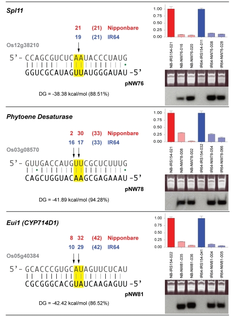 Molecular characterization of transgenic plants. Cleavage site mapping was performed on mRNA from one transgenic plant for each transgene in both varieties (Nipponbare and IR64). Numbers above the arrows denote the number of clones ending at the particular position, with the total number of clones in parentheses. The binding energy (ΔG) of the RNA-RNA duplex between target (denoted by TIGR locus identifier) and amiRNA is given in kcal/mol and as a fraction of the calculated binding energy for a perfect match to the target site. Total RNA from two transgenic plants for each construct (leaf tissue for SPl11 and Pds , young panicles for Eui1 / CYP714D1 ) was used for RT-PCR for the target (histograms, top right), and small RNA blots (bottom right). Gel images are provided as loading control for small RNA blots. Comparison was to an empty vector control (IRS-154). Expression was normalized to the respective empty vector control. Error bars indicate the variation between technical replicates (range).