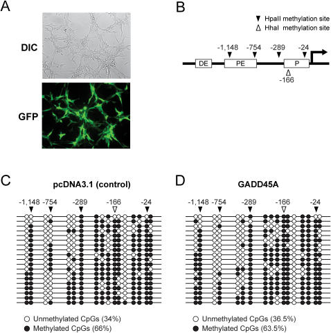 GADD45A does not promote demethylation of the endogenous pOct4 promoter in NIH3T3 cells. A. The transfection efficiency of NIH3T3 cells was analyzed with an EGFP expression vector and was calculated to be ∼60%. DIC, differential interference contrast image; GFP, green fluorescence. B. Schematic diagram of the mouse Oct4 promoter region. DE is the distal element, PE is the proximal element, and P is the minimal promoter of Oct4. Black triangles indicate HpaII sites and the open triangle shows a HhaI site. C and D. Bisulfite sequence analysis of all CpGs in the Oct4 upstream region. Closed circles are methylated CpGs and open circles are unmethylated CpGs. C, control vector transfected cells; D, GADD45A expression vector transfected cells.