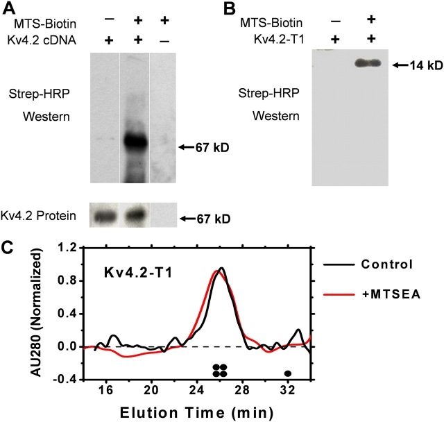 Biochemical evidence of the chemical modification of Kv4.2 and Kv4.2-T1 by MTSEA-biotin. (A) Membrane fragments containing Kv4.2 and KChIP3 (Kv4.2:KChIP3, 1:3) were reacted with MTSEA-biotin for 20 min at room temperature, and then electrophoresed and blotted with either anti-Kv4.2 or streptavidin-HRP (MATERIALS AND METHODS). (B) Likewise, the purified T1 domain of Kv4.2 was also reacted with the biotinylated MTSEA reagent and screened with streptavidin-HRP. The indicated molecular weights correspond to those of Kv4.2 a-monomer (67 kD) and the monomeric Kv4.2-T1 protein (14 kD). (C) FPLC profile of the Kv4.2-T1 protein before (black) and after (red) treatment with MTSEA-biotin (0.5 mM). AU280, normalized absorbance units at 280 nM. The expected elution times of the T1 tetramer and the T1 monomer are schematically marked above the abscissa.