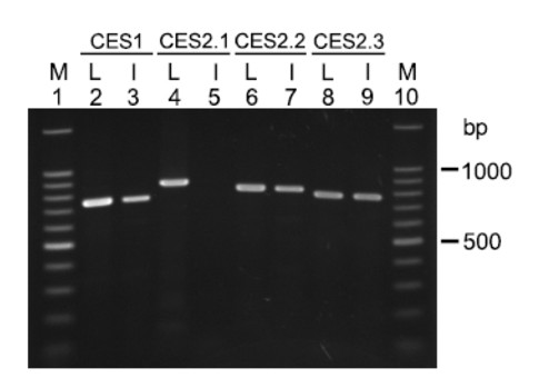 Expression of CES genes in opossum. Liver and intestinal cDNAs were reverse transcribed from DNase I-treated RNA, and they were used as templates in RT-PCR to analyze CES gene expression. Lanes 2 and 3 are RT-PCR products amplified from liver (L) and intestine (I) cDNAs for the CES1 gene; lanes 4 and 5, RT-PCR products from liver (L) and intestine (I) cDNAs for the CES2.1 gene; lanes 6 and 7, RT-PCR products from liver (L) and intestine (I) for cDNAs for the CES2.2 gene; and lanes 8 and 9, RT-PCR products from liver (L) and intestine (I) for cDNAs for the CES2.3 gene. M shows the DNA size ladder.