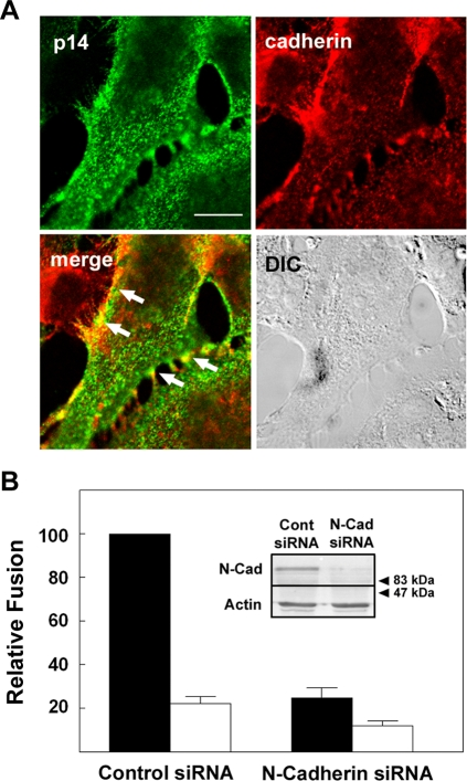 Ablating cadherin expression inhibits p14-mediated syncytiogenesis. (A) Transfected QM5 cells were surface immunostained for p14 (green), then permeabilized and immunostained for N-cadherin (red) at 4 h post-transfection. Arrows in the merged image point to regions of N-cadherin and p14 co-localization at cell–cell contacts as indicated by the yellow pixels. The differential interference microscopy (DIC) image of the same field is shown. Scale bar = 10 µm. (B) HT-1080 cells were transfected with control siRNA or siRNA directed against human N-cadherin, then co-transfected with p14 and cultured under normal (black bars) or low (white bars) calcium conditions. Cells were fixed at 9 h post p14-transfection and syncytiogenesis was quantified by syncytial indexing. Data is presented as the extent of fusion relative to control siRNA-transfected cells cultured under normal calcium conditions. Values represent the mean±S.E. (n = 4). The average number of syncytial nuclei per field under normal calcium levels (i.e. the 100% level) was 53.8. The inset shows Western blot analysis of N-cadherin (N-Cad) and actin expression in the cells transfected with control (Cont) or N-cadherin (N-Cad) siRNA. Numbers indicate the mobilities of M r standards.