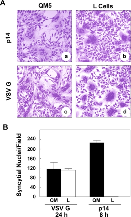 Fusion efficiencies in cadherin-containing and cadherin-deficient cell types. (A) QM5 and L cells were transfected with p14 or VSV G, cultured under normal calcium conditions, then fixed and Giemsa stained at 8 (panel a) or 24 (panels b–d) h post-transfection to detect multinucleated syncytia. Scale bar = 50 µm. (B) QM5 and L cells were transfected with VSV G or p14, cultured under normal calcium conditions, and the average number of syncytial nuclei per field was determined from Giemsa-stained monolayers at the indicated times post-transfection. Values represent the mean±S.D. from a representative of two separate experiments conducted in triplicate.
