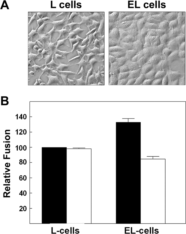 Ectopic cadherin expression enhances p14-mediated fusion. (A) Phase contrast microscopy (400× mag.) of L and EL cells. (B) L and EL cells were transfected with p14, cultured under normal (black bars) or low (white bars) calcium conditions, and the extent of syncytia formation in Giemsa-stained monolayers was quantified at 26 h post-transfection by syncytial indexing. Data is presented as the extent of fusion relative to L cells under normal calcium conditions. Values represent the mean±S.E. (n = 3). The average number of syncytial nuclei per field in the L cells under normal calcium levels (i.e. the 100% level) was 40.7.
