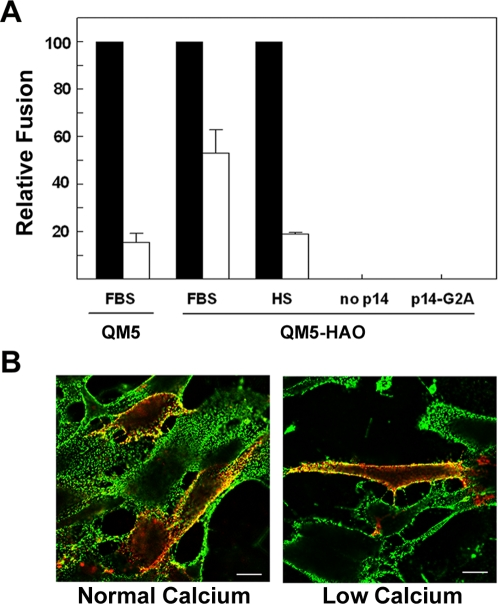 Surrogate receptor binding proteins enhance p14-mediated fusion in the absence of cadherin junctions. (A) QM5 and QM5-HAO cells were transfected with p14 and cell–cell fusion under normal (black bars) or low (white bars) calcium conditions in the presence of FBS was quantified by syncytial indexing at 7 h post-transfection. QM5-HAO cells were also transfected under similar conditions and incubated in the presence of horse serum (HS) to block HAO receptor binding, or were transfected with the non-fusogenic mutant p14-G2A or empty vector (no p14) to assess any contribution of the HAO protein to syncytiogenesis. Data is presented as the extent of fusion under low calcium conditions relative to normal calcium conditions. Values represent the mean±S.E. (n = 3–5). The average numbers of syncytial nuclei per field under normal calcium levels (i.e. the 100% level) were 151.9 (QM5 cells in FBS), 169.4 (QM5-HA0 cells in FBS), and 51.2 (QM5-HA0 cells in HS). (B) Merged surface immunofluorescence microscopy images of epitope-tagged p14 (red) and influenza HA (green) in QM5-HAO cells under normal and low calcium conditions. Yellow indicates regions of p14 and HAO colocalization. Scale bars = 10 µm.