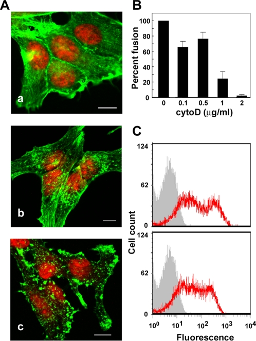 Effects of cytoD on QM5 cell adhesion and p14-induced syncytiogenesis. (A) Fluorescent images of QM5 fibroblasts treated with 0 (a), 0.5 (b) or 1 µg/ml (c) of cytoD for 30 minutes prior to fixation and staining with fluorescently conjugated phalloidin (green) and propidium iodide (red). Scale bars = 10 µm. (B) Cell–cell fusion in QM5 cells treated with the indicated concentrations of cytoD was quantified at 7 h post-transfection by syncytial indexing. Data is presented as the extent of fusion relative to cells untreated with cytoD, set at 100%. Values represent the mean±S.E. (n = 3). (C) QM5 fibroblasts transfected with p14 and left untreated (top panel) or treated with 0.1 µg/ml of cytoD for 1 h (bottom panel) were surface immunostained using an anti-p14 ectodomain-specific antiserum and Alexa Fluor 488-conjugated secondary antibody (red line tracing) and analyzed for cell-surface fluorescence (in arbitrary units) by flow cytometry relative to mock-transfected cells (grey histogram).
