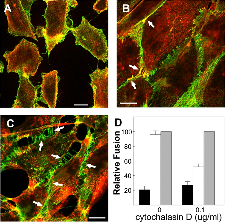 Efficient p14-mediated fusion requires active adhesion. Fluorescent images (panels A–C) of QM5 fibroblasts fixed and stained with anti-N-cadherin antibody (green) or fluorescently conjugated phalloidin (red). Scale bars = 10 µm. (A) Cells cultured under low calcium conditions to disrupt cadherin-mediated cell–cell contacts and generate the no adhesion phenotype. (B) Cells cultured under low calcium conditions and then switched to normal calcium conditions to generate the active adhesion phenotype. (C) Cells cultured under low calcium conditions followed by treatment with cytoD under normal calcium conditions to allow cadherin engagement but not actin remodelling, generating the passive adhesion phenotype. Arrows in (B) indicate examples of F-actin and cadherin colocalization at sites of extended cell–cell contact. Arrows in panel (C) indicate sites of trans -cadherin interactions in the absence of extended junction formation. (D) QM5 cells were transfected with p14 and treated to generate the active, passive and no adhesion phenotypes depicted in the previous panels. Just prior to the onset of fusion (4 h <t>post-transfection),</t> cells were briefly subjected to calcium depletion (black and white bars) or maintained in normal calcium levels (grey bars). Immediately after depletion, cells were incubated in normal (white bars) or low calcium (black bars) medium in the presence or absence of cytoD as indicated. The extent of syncytium formation under the different culture conditions was quantified by syncytial indexing 2–4 h after the return to normal calcium containing media. Data is presented as the extent of fusion relative to cells maintained throughout the experiment in normal calcium medium with or without cytoD. Values represent the mean±S.E. (n = 5). The average numbers of syncytial nuclei per field under normal calcium levels (i.e. the 100% level) were 68.9 (no cytochalasin treatment) and 46.9 (with cytochalasin treatment).