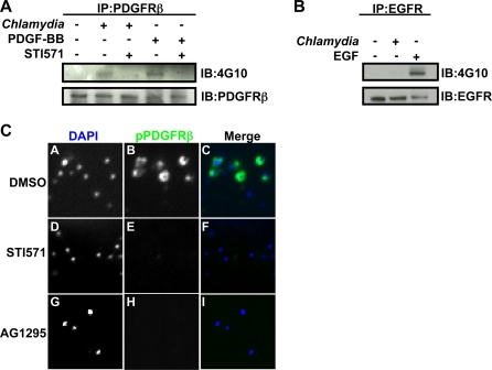 C. trachomatis infection induces phosphorylation of PDGFRβ and recruitment of phospho-PDGFRβ to the site of entry. (A) PDGFRβ was immunoprecipitated from C. trachomatis infected HeLa cells at 1 hpi in the absence or presence of STI571 and immunoblotted with 4G10 antibody. As a positive control, cells were stimulated with 100 ng/ml PDGF-BB. (B) EGFR was immunoprecipitated from C. trachomatis infected HeLa cells at 1 hpi and immunoblotted with 4G10 antibody. As a positive control, cells were stimulated with 100 ng/ml EGF. (C) C. trachomatis infected cells incubated in the absence (panels A–C) or presence of STI571 (panels D–F) or AG1295 (panels G–I) were fixed and stained with anti-phospho-PDGFRβ antibody (green in merge). Bacteria and host DNA were detected using DAPI (blue in merge). The exposure time for each filter of all images was identical.