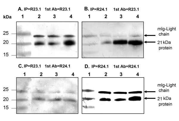 Immunoprecipitation and Western-blot analysis of DEL, KMH2 and L-428 cell lysates. 23.1 (Panel A and C) and R24.1 (Panel B and D). Samples were separated on 4–20% Life-gel and transferred onto nitrocellulose membranes. The membranes were then blocked in 5% non-fat dry milk and probed with monoclonal antibody clones R23.1 (Panel A and B) and R24.1 (Panel C and D) followed by goat-anti-mouse IgG-AP. The membranes were developed in <t>BCIP/NBT.</t> A protein band of ~21 KDa as well as IgG light chain were detected in all three lysates examined. Lane 1 contains molecular weights and lanes 2–4 contain Immunoprecipitated samples of DEL, KMH2 and L-428.