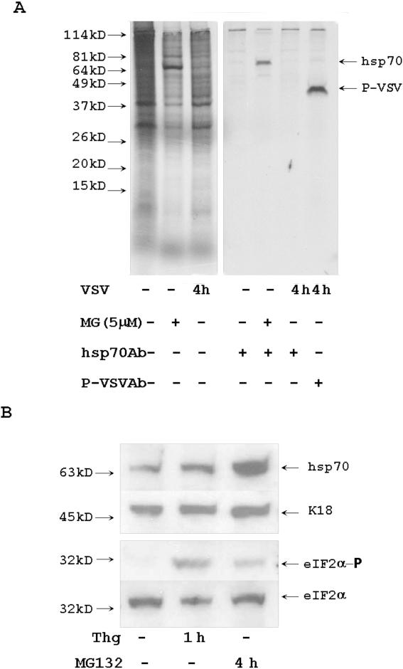 Treatment with MG132 activates stress. (A) Inhibition of proteasome activated <t>hsp70</t> synthesis. Control HeLa cells, cells treated for 4 h with MG132, and 4 h VSV-infected cells were incubated for last 30 min with S 35 methionine/cysteine. Cytoplasmic proteins were precipitated with anti-hsp70 and anti-P-VSV Abs. Precipitated proteins were analyzed by electrophoresis and autoradiography. (B) MG132 stimulated eIF2α phosphorylation. HeLa cells were treated with 1 µM of thapsigargin for 1 h and with 5 µM of MG132 for 4 h. 10 µg of protein extracts were analyzed with Abs specific for eIF2α and eIF2α- phosphate (eIF2α-P). Hsp70 is a marker of MG132 activated stress. Keratin 18 (K18) is a loading control.