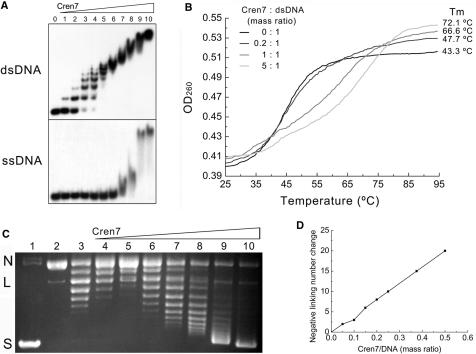 Interaction of Cren7 with DNA in vitro . ( A ) Comparison of binding of Cren7 to dsDNA and ssDNA. Recombinant Cren7 was incubated with a radiolabeled 60 bp dsDNA or 60 nt ssDNA. Protein–DNA complexes were subjected to electrophoresis in polyacrylamide. Protein concentrations were 0, 0.02, 0.04, 0.08, 0.16, 0.31, 0.63, 1.3, 2.5, 5 and 10 μM, respectively. ( B ) Effect of binding by Cren7 on thermal stability of dsDNA. Thermal denaturation of poly[dAdT]–poly[dAdT] in the presence and absence of Cren7 was determined by monitoring changes in UV absorbance at 260 nm. ( C ) Nick closure analysis of the ability of Cren7 to constrain DNA supercoils. Single-nicked plasmid pBR322 was incubated with Cren7 at various protein/DNA mass ratios and ligated with T4 DNA ligase at 25°C. Samples were deproteinized and subjected to agarose gel electrophoresis. Lane 1, negatively supercoiled pBR322; lane 2, single-nicked pBR322; lanes 3–10, topoisomers of pBR322 ligated in the presence of Cren7 at the following protein/DNA mass ratios: 0, 0.05, 0.1, 0.15, 0.2, 0.25, 0.375 and 0.5, respectively. N, nicked circular plasmid; L, linear plasmid; S, supercoiled plasmid. ( D ) Plot of the linking number change of nick-closed plasmid against the Cren7/DNA mass ratio. The linking change of pBR322 ligated in the presence or absence of Cren7 was measured by resolving topoisomers on agarose gels in the presence or absence of chloroquine and band counting.
