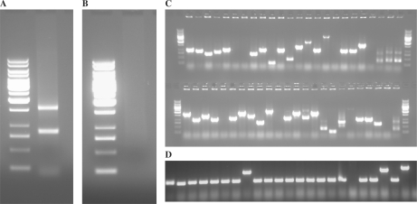Library quality controls. ( A ) HES3 Human embryonic stem cells were grown and prepared as described ( 9 ). Total RNA was prepared by the Trizol isolation method. A smear of RNA with two bright bands corresponding to the 28S and 18S rRNA was obtained. The ladder used in all panels is Generuler 1 Kb (Fermentas) ( http://www.fermentas.com/catalog/electrophoresis/images/generuler031123.jpg ). ( B ) The mRNA prepared by the use of the μMACS mRNA isolation kit on total RNA showed no bright bands corresponding to the rRNA. ( C ) A flcDNA library was prepared by the Captrapper method, which had a titer of 4.6 × 10 6 cfu. Colony PCR quality control of the library was performed. An empty vector will produce a PCR product of size 260 bp (corresponds to the first band of the ladder); insert sizes were therefore calculated by subtracting off the size of the empty vector. Colony PCR therefore showed a range of insert sizes from 250 to 2000 bp (corresponds to the second to seventh bands of the ladder). This is expected, as a flcDNA library is expected to give a range of different-sized inserts, with no single dominant size. Given that the library was of good quality, as can be seen from the colony PCR, the library was used to prepare two libraries: A single-PET library by the classic method, and a single-PET library by the <t>Selection-MDA</t> method. ( D ) A single-PET library was prepared from the full-length library as per the classic bacterial propagation method. Colony PCR quality control of this library showed a single predominant fixed size of 300 bp in many colonies, which is expected, as single-PET plasmids all have a fixed size of 2800 bp, and hence upon PCR, will give a band of 300 bp. Certain clones do not show this fixed size, which could be the result of the incorporation of foreign <t>DNA,</t> or other factors. Colony PCR quality control showed an insert ratio of 75% based on the number of wells that had PCR products of the correct size (300 bp).