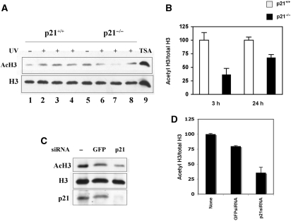Loss of p21 results in a reduced HAT activity after UV irradiation. ( A ) Western blot analysis of acetylated forms (K9-K14) and total content of histone H3 performed in p21 +/+ (lanes 1–4) and p21 −/− (lanes 5–8) cell extracts, before (lanes 1 and 5) and 1 h (lanes 2 and 6), 3 h (lanes 3 and 7) or 6 h (lanes 4 and 8) after UV irradiation. In lane 9, extract from cells treated with trichostatin A (TSA) to enhance H3 acetylated forms, is shown as positive control of acetylation. ( B ) Densitometric analysis of the ratio acetylated form (K9–K14)/total levels of histone H3 in p21 +/+ (empty bars) and p21 −/− (solid bars) fibroblasts collected 3 or 24 h after UV irradiation. Normalized mean values ± SD of three independent experiments are reported (3 h, P = 0.002; 24 h, P = 0.01). ( C ) Western blot analysis of acetylated form (K9–K14) and of the total levels of histone H3, and p21. LF1 fibroblasts not transfected, or transfected with p21-specific or control (GFP) siRNA pools were collected 24 h after UV irradiation. ( D ) Densitometric analysis of the ratio acetylated form (K9–K14)/total levels of histone H3, in UV-irradiated LF1 fibroblasts not transfected, or transfected with p21-specific or control (GFP) siRNA pools. Normalized mean values ± SD of three independent experiments, are reported ( P = 0.03, p21-siRNA versus untreated control; P = 0.04, p21-siRNA versus GFP-siRNA).