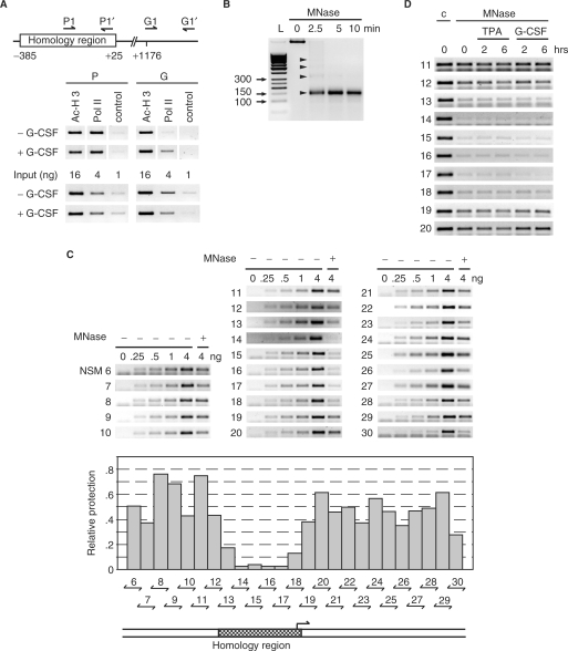 The homology region of the MAD1 promoter possesses open chromatin. ( A ) Upper panel: schematic representation of the positions of the primers used for the ChIP experiments relative to the homology region. Lower panel: chromatin immunoprecipitations were performed with antibodies specific for the indicated proteins on lysates of U937 cells treated with or without G-CSF (10 ng/ml) for 30 min. For control serial dilutions of the input were analyzed. ( B ) U937 cells were lyzed in F-buffer, nuclei prepared and digested with micrococcal nuclease (MNase) for the indicated times. <t>DNA</t> was then extracted and analyzed by agarose gel electrophoresis. The arrowheads identify mono-, di-, tri-, and tetra-nucleosomes. L: molecular size markers. ( C ) MNase or untreated DNA from exponentially growing U937 cells was used in <t>PCR</t> analysis with the indicated primer pairs. Untreated DNA was titrated (0,.25,.5, 1, and 4 ng) for the control PCR reactions and compared to 4 ng of Mnase-treated DNA. The agarose gels with the PCR products are shown in the top panel. The middle panel shows a quantification of the signal obtained from the MNase-treated DNA compared to the control signals. The bottom panel shows the position of the homology region relative to the analyzed promoter region. ( D) U937 cells were grown exponentially or treated for the indicated times with TPA or G-CSF as indicated. MNase or untreated DNA was amplified with primer pairs that span the homology region and neighboring genomic DNA.