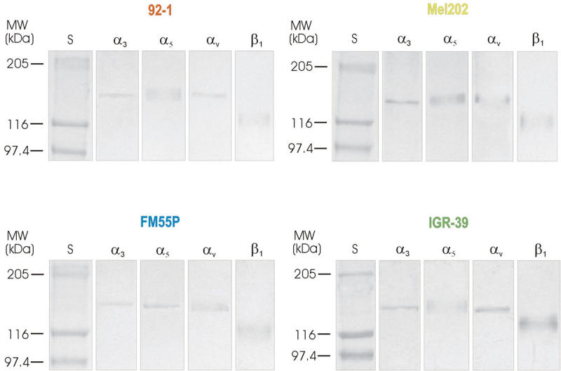 Immunodetection of α 3 , α 5 , α v , and β 1 in materials obtained after precipitation of 92–1, Mel202, FM55P, and IGR-39 cell extracts with phaseolus vulgaris agglutinin bound to agarose. One mg of the cell extracts were incubated overnight with phaseolus vulgaris agglutinin (PHA-L) immobilized on cross-linked 4% beaded agarose. Glycoproteins were released from the complexes by boiling in electrophoresis sample buffer before being subjected to 10% SDS–PAGE. Following separation, the proteins were blotted onto PVDF membrane. After being blocked the blots were incubated with one of the following antibodies specific for different integrin subunits: α 3 , α 5 , α v, and β 1 . Next, the membranes were incubated with the secondary antibodies either alkaline phosphatase conjugated goat anti-rabbit IgG (for α 3 , α 5 , α v , integrin subunits) or alkaline phosphatase coupled goat anti-mouse IgG (for β 1 integrin subunit). Visualization of immunoreactive proteins was achieved with the use of 4-nitroblue-tetrazolium salt/5-bromo-4-chloro-3-indolylophosphate solution. Lane S shows position of molecular weight markers.