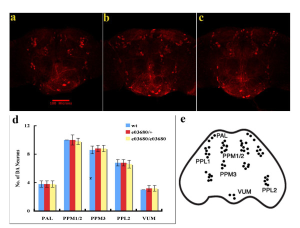 Drosophila lacking dLRRK kinase activity has normal development of DA neuron . Brain dissected from wild-type flies (a), e03680/+ flies (b) and e03680/e03680 flies (c) aged 20 days were immunostained with anti- Drosophila TH antibody followed by an <t>Alexa</t> Fluor 594-labeled secondary antibody to indentify DA neurons. Representative pictures shown were collected by confocal microscopy. Dopaminergic neurons in six brain regions, including PAL, PPM1/2, PPM3, PPL1, PPL2, and VUM, were quantified and no significant difference was found among different fly lines (d). Localization of Drosophila DA neurons is illustrated in e.