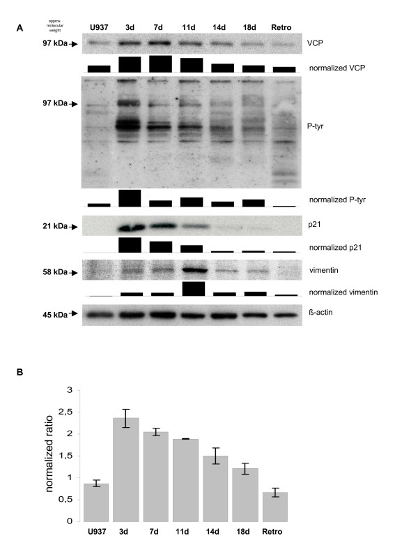 Alteration of the VCP/p97 expression during differentiation and retrodifferentiation .  A . U937 cells were treated initially with 10 nM TPA and then cultured in the absence of TPA until retrodifferentiation. At the time points indicated, cell lysates were separated by 10% SDS-PAGE followed by Western blot analysis with anti-VCP/p97, anti-P-tyr, anti-p21 Cip1/Waf1/sdi-1  and anti-vimentin antibody. The tyrosine phosphorylation pattern (p-tyr) is demonstrated by the complete range from 250-20 kDa. Staining with β-actin was used as a loading control. Densitometric analysis and normalization to β-actin was performed using the ImageJ software (NIH, Bethesda, MD, USA).  B . Quantitative RT-PCR analysis of VCP/p97 mRNA levels during differentiation and retrodifferentiation. Following total RNA isolation of undifferentiated U937 control cells (U937), differentiated populations (3d until 18d) and retrodifferentiated U937 cells (Retro), the amplification was performed in the LightCycler 2.0 System using the LightCycler Software 3.5. Results represent means ± SD from three independent experiments.