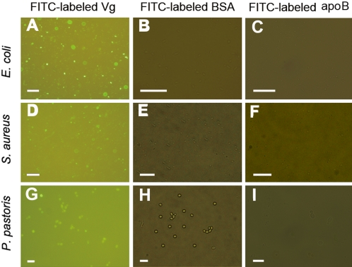 Binding of FITC-labeled Vg to microbial cells. Vg was labeled by FITC, and FITC-labeled Vg was incubated with Gram-negative bacterium E. coli , Gram-positive bacterium S. aureus and fungus P. pastoris , respectively. After washing three times with 25 mM Tris-HCl buffer containing 137 mM NaCl and 3 mM KCl (TBS; pH 7.6), the microbes were harvested by centrifugation, applied to microscope slides, and observed under an Olympus BX51 fluorescence microscope. The microbes treated with FITC-labeled BSA and FITC-labeled apoB were processed under the same conditions. (A, D and G) Binding of FITC-labeled Vg to E. coli, S. aureus and P. pastoris ; (B, E and H) Non-binding of FITC-labeled BSA to E. coli, S. aureus and P. pastoris ; (C, F and I) Non-binding of FITC-labeled apoB to E. coli, S. aureus and P. pastoris . A, D and G are the images under a fluorescent field, while B, E, H, C, F and H are the merged images under fluorescent and bright field channels. Scale bars: 20 µm.