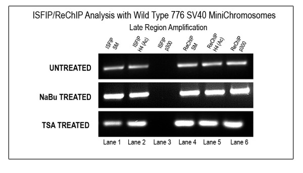 Association of p300 with transcribing SV40 minichromosomes after HDACi treatment . Unfixed SV40 minichromosomes treated with 250 μM NaBu or 120 nM TSA were isolated from cells infected with 776 wild-type virus for 48 hours, immunoprecipitated with RNAPII, and then subjected to an ISFIP/ReChIP analysis with antibody against p300. The samples were amplified by simplex PCR with primer sets to the late region. The position of the amplification product from the wild-type 776 DNA is indicated. Lane 1, ISFIP input fraction; lane 2, ChIP with 7.5 μl of hyperacetylated histone H4 antibody (ISFIP); lane 3, ChIP with 10 μl of p300 antibody (ISFIP); lane 4, ReChIP input fraction; lane 5, ChIP with 7.5 μl of hyperacetylated histone H4 antibody.
