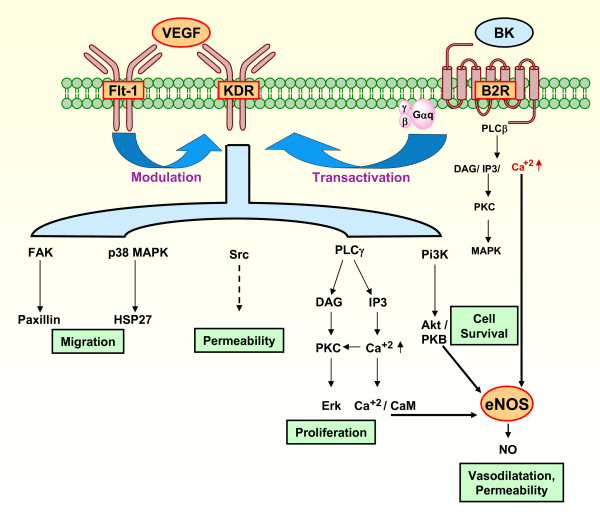 Signaling pathways that contribute to VEGF induced angiogenesis, and a proposal for their participation in the development of the utero-placental interface by participating in proliferative, invasive, vasodilatory and permeability changes essential for cell invasion and angiogenesis. VEGF activates eNOS through pathways including Akt/PKB, Ca +2 /CaM, and PKC [20-24]. Flt-1 may negatively regulate KDR, but might also promote its activity [20]. Bradykinin stimulates eNOS through Ca +2 , induces EC to form tubes, and transactivates the KDR [26]. The factors studied have been depicted in orange areas surrounded by a red border, known mechanisms of downstream activation by interrupted arrows, and unknown mechanism of downstream activation by interrupted arrow. VEGF, vascular endothelial growth factor; BK, bradykinin; eNOS, endothelial nitric oxide synthase; PLC β, phospholipase C -β; PLCγ, phospholipase C -γ; DAG, diacylglycerol; IP3, inositol (1,4,5)-triphosphate; PKC, protein kinase C; MAPK, mitogen-activated protein kinase; FAK, focal adhesion kinase; PI3K, phosphoinositide 3-kinase; p38 MAPK, p38 mitogen-activated protein; Erk, extracellular regulated kinase; HSP27, heat protein; CaM, calmodulin; EC, endothelial cell.