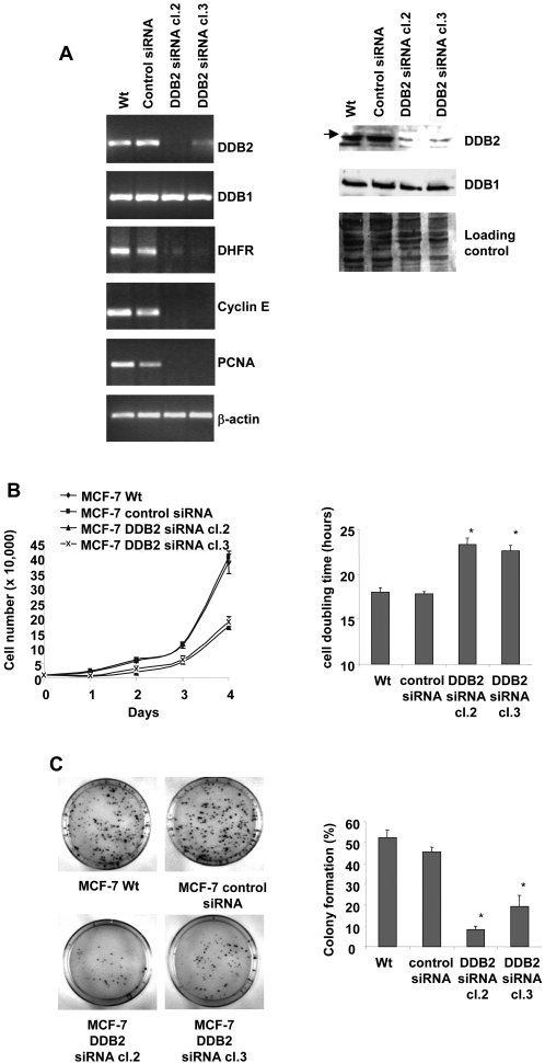 DDB2 knockdown affects the growth and colony formation of MCF-7 cells. (A) Generation of MCF-7 cell clones stably expressing DDB2 siRNA. Total RNA was extracted from parental MCF-7 cells (Wt) and from cells stably transfected with either the DDB2-siRNA vector (clones cl.2 and cl.3) or the scrambled siRNA vector (control siRNA), then subjected to RT-PCR analysis. The relative levels of DDB1, DDB2, DHFR, cyclin E and PCNA mRNAs were normalized to those of β-actin mRNA. DDB1 and DDB2 protein levels were analysed in the total protein (50 µg) extracted from MCF-7 cell clones stably expressing DDB2 siRNA and from control cells, by Western blotting using polyclonal anti-DDB1 and anti-DDB2 antibodies. Coomassie blue membrane staining was used as the protein loading control for Western blot analysis. (B) Parent cells (Wt), control siRNA-transfected MCF-7 cells and the two DDB2 siRNA-transfected cell clones (DDB2 siRNA cl.2 and cl.3) were plated in 24-well dishes (1×10 4 per well) in complete medium and cell numbers were counted for 4 days. Means are shown for three experiments. Cell population doubling time was calculated from the cell growth curve during the exponential growth phase. (C) Wt cells, control siRNA and DDB2 siRNA transfected cells were seeded (500 cells) in 100-mm dishes and grown for 12 days. Colonies with more than 50 cells were counted and data from three independent experiments were expressed as the % of colony formation = (colonies formed/cells seeded)×100%. Statistically significant differences from the parental (Wt) cell value are indicated as * P