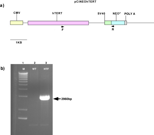 hTERT genomic PCR assay . a) pCI-neo-hTERT construct. Primers (arrows) amplify a 2960 bp product that includes the 3' end of the hTERT cassette and the 5' end of the NEO r cassette. b) M = 1 kb Marker, WT = wild type rhesus fibroblasts, HTF = TERT transfected fibroblasts (Experiment #8, HPRT null clone).
