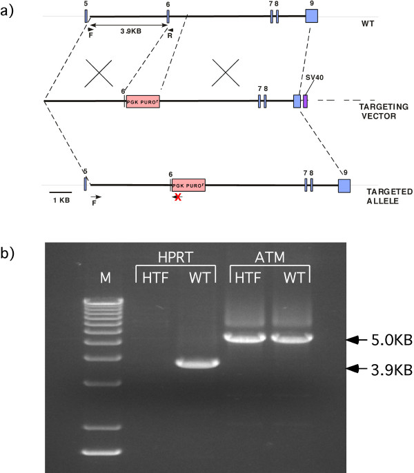 PCR screening strategy . a) A 3.9 kb PCR band occurs in the non-targeted wild type rhesus macaque fibroblast DNA. The reverse screening primer anneals to the deleted part of exon 6. If a targeting event has occurred, there will be no 3.9 kb PCR band since that part if exon 6 has been deleted. b) M = 1 kb Marker, HTF = HPRT targeted fibroblasts, WT = wild type rhesus fibroblasts, ATM = ataxia telangiectasia mutated (positive control).