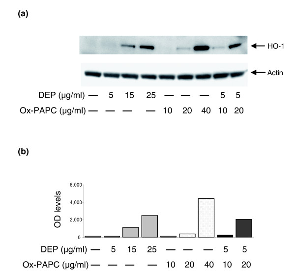 DEP and ox-PAPC induce HO-1 expression in HMEC. (a) Western blot. HMEC were treated with DEP, ox-PAPC or a combination of both at various concentrations. Mouse monoclonal anti-HO-1 and anti-β-actin antibodies were used to detect the relevant proteins as described in Materials and methods. (b) Densitometric analysis. The expression level of HO-1 protein in optical density (OD) units is shown. Similar levels of β-actin are shown in (a). Results are typical of one representative experiment ( n = 4).