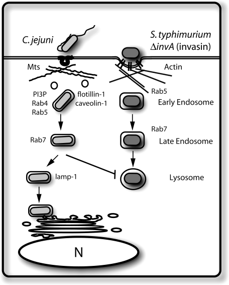Model for C. jejuni Internalization and Trafficking within Epithelial Cells C. jejuni enters intestinal epithelial cell via a microtubule and caveolae-dependent process. After internalization, the C. jejuni –containing vacuole transiently acquires different markers of the endocytic pathway and ultimately survives within a compartment that is functionally separated from the canonical endocytic pathway, which is represented in this scheme by S. typhimurium invA (invasin).