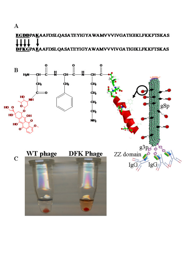 Controlled release of doxorubicin release from drug-carrying phages . A. The sequence amino-acid sequence (single-letter code) of the g8p coat protein of fUSE5-ZZ-(p8)DFK phages (top) and native fUSE5 (bottom). The mutated residues are marked by black arrows. B. Drawing (not to scale) of a single fUSE5-ZZ-(p8)DFK phage; In the phage scheme on the right, small turquoise spheres represent major coat protein g8p monomers. Purple spheres and sticks represent the 5 copies of minor coat protein g3p, which is fused to a three-color helix representing the IgG binding ZZ domain. The Y shaped structure represents complexed IgG. An engineered g8p monomer is shown on the left. The helix represents a partial structure of a single major coat protein p8, conjugated through an amino terminal aspartate (D) of the sequence DFK carboxyl side chains a molecule of doxorubicin (red). C. A Photograph of the cathepsin-B release experiment tubes, on the right, doxorubicin carrying fUSE5-ZZ-(p8)DFK phages that was incubated with cathepsin-B, followed by PEG/NaCl precipitation, a reddish soluble D-DOX (verified by HPLC and MS in Fig. 5) is seen as well as a reddish pellet representing the drug conjugated through the internal glutamate residue. On the left is a tube containing fUSE5-ZZ phages that was incubated with cathepsin-B, followed by PEG/NaCl precipitation, the transparent colorless solution indicate no drug release.