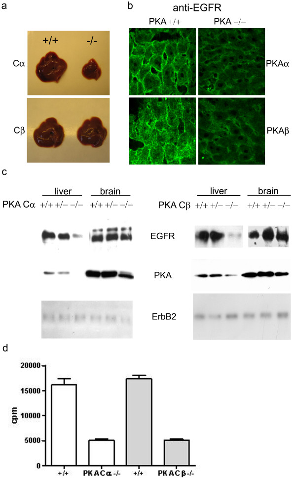 Effect of PKA Cα or Cβ ablation on EGFR expression. (a) Comparison of liver from wild type and PKA Cα and Cβ ablated mice. PKA Cα KO mice showed a clear uniform reduction in size. (b) Confocal immunofluorescence microscopy of frozen liver sections stained by sheep anti-EGFR and Cy3-conjugated donkey anti-sheep antibodies. (c) Western immunoblotting analysis of EGFR expression in liver and brain from wt (+/+), heterozygote (-/+), and Cα and Cβ KO (-/-) mice. Immunoblots were incubated with sheep anti-EGFR, rabbit anti-pan PKA C and mouse anti-PKA C, and rabbit anti-erbB2. Secondary HRP-conjugated anti-IgG antibodies were used for detection. (d) PKA kinase activity in mouse liver. Activity was assayed by phosphorylation of the PKA-specific substrate Kemptide using γ-[ 32 P]ATP. The assay was performed in the presence of cAMP. Activity was measured by liquid scintillation in 3 ml Opti-fluor. Values are given as counts per minute (cpm).