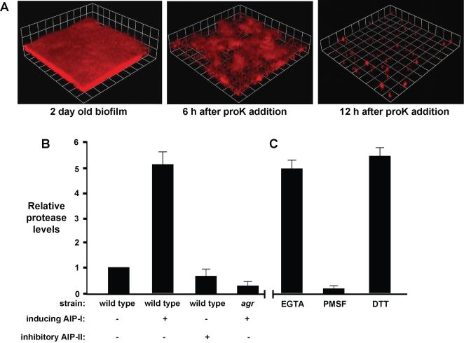 Effect of Proteinase K on biofilms and measurement of extracellular protease activity in AIP-detached biofilms. (A) Proteinase K (proK, 2 µg/ml) was added to a 2 day old biofilm (strain AH500) and the biofilm integrity was monitored with CLSM at 6 and 12 hr. (B) Levels of protease activity detected in biofilm effluent collected from wild type (SH1000) or Δ agr (SH1001) biofilms supplemented with indicated AIP's. Protease activity was referenced to wild-type without AIP addition. (C) The effect of inhibitors or activators on the proteolytic activity in an AIP-I detached biofilm effluent. Activity assay was supplemented with either the metalloprotease inhibitor EGTA (1 mM), serine protease inhibitor PMSF (10 µM), or the reducing agent DTT (1 mM). Error bars show SEM.