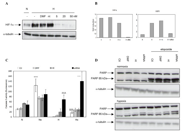 Effect of <t>HIF-1α</t> silencing on the hypoxia-induced protection against the etoposide-induced apoptosis. A , cells were transfected with 5, 20 or 50 nM HIF-1α siRNA, 50 nM non-targeting siRNA or with the transfection reagent alone (DMF) for 24 hours. Cells were then incubated under normoxia or hypoxia for 6 hours and total cell extracts were analyzed by western blot for HIF-1α protein level. A, B, C , cells were transfected with 50 nM HIF-1α siRNA or non-targeting siRNA for 24 hours. They were then incubated under normoxic (N) or hypoxic (H) conditions with or without etoposide (e, 50 μM) for 16 hours. B , after the incubation, total RNA was extracted, submitted to reverse transcription and then to amplification in the presence of SYBR Green and specific primers. α-tubulin was used as the house keeping gene for data normalization. Data are given in fold-induction. C , caspase 3 activity was assayed. Results are expressed as means ± 1 SD (n = 3). *** p