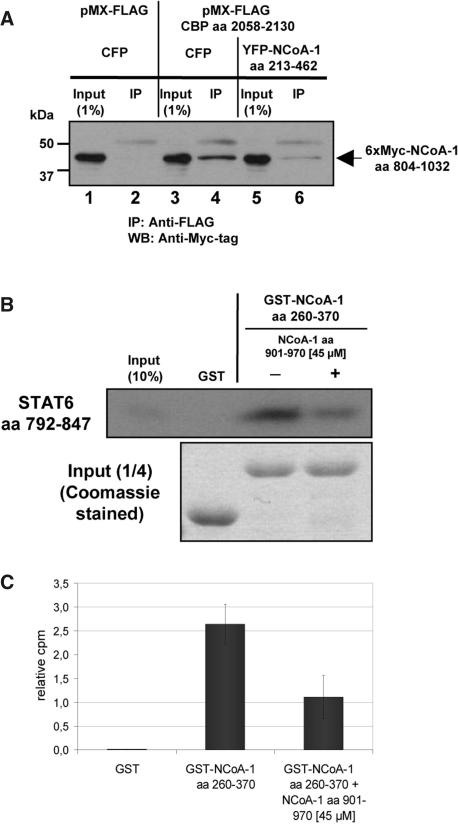 Overexpression of the NCoA PAS-B domain or competition with the CID/AD1 inhibits contact of NCoA-1 to CBP or the STAT6-TAD. ( A ) 293T cells were transiently transfected with expression vectors encoding a FLAG-tagged CBP fragment (aa 2058–2130) or the empty FLAG-tag vector (pMX-FLAG) (each 1 µg), a 6× Myc-tagged CID/AD1 fragment of NCoA-1 (aa 804–1032) (0,1 µg) along with a vector containing a YFP fusion protein encoding NCoA-1 aa 213–462 or CFP as a control (each 3 µg). Whole cell extracts were prepared and co-immunoprecipitation was performed with a specific anti-FLAG-tag antibody. Precipitated proteins were analyzed by SDS–PAGE, followed by western blotting with an anti-Myc-tag antibody. Aliquots corresponding to 1% of the used cell lysates were analyzed in parallel (Input 1%). ( B ) GST or the GST fusion protein of NCoA-1 PAS-B domain (aa 260–370) were bound to glutathione Sepharose beads and incubated with a [ 35 S]methionine-labeled fragment of the STAT6-TAD (aa 792–847) in absence or presence of 45 µM of a purified NCoA-1 CID/AD1 peptide (aa 901–970). After washing and elution, precipitated proteins were analyzed by SDS–PAGE and fluorography. The CID/AD1 fragment was bacterially expressed, digested and purified as described in Materials and Methods. An aliquot representing 10% of the in vitro transcribed/translated fragment was analyzed in parallel (Input). A quarter of each binding reaction was separately analyzed by SDS–PAGE and Coomassie staining in order to prove same amounts of GST or GST fusion proteins. ( C ) Quantification of bound STAT6-TAD fragment to GST or GST fusion protein of the NCoA-1 PAS-B domain in absence or presence of the CID/AD1 peptide. The relative radioactivity (cpm; counts per minute) was determined by normalization against 10% of the in vitro transcribed/translated protein. The average of three independent experiments with standard deviation is shown.