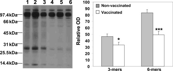 The level of oligomeric forms of Aβ detected in hemibrain homogenates by combination of IP with WB using biotinylated anti-Aβ 20.1 monoclonal antibody. Densitometric quantification of bands (relative optical density) revealed significant reduction in the level of Aβ oligomers (3-mers and 6-mers) in brain extracts from immune mice in comparison to control animals (*P