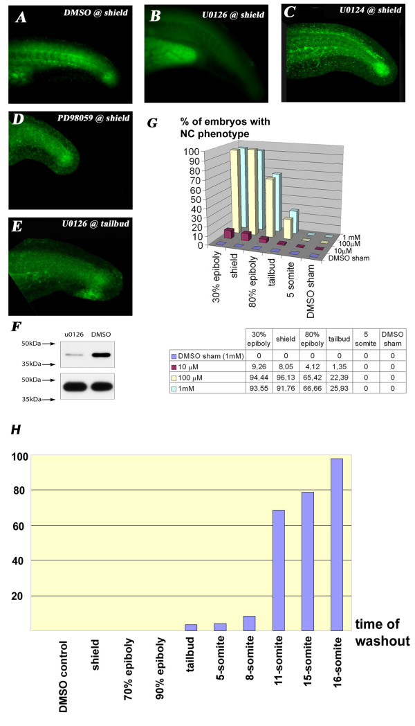 U0126 application during a specific time-window decreases ERK phosphorylation specifically . A : Diphospho-Erk staining in the trunk of wt 24 hpf embryos. B : U0126 eliminates ERK1/2 phosphorylation (green) in the trunk and tail of 24 hpf zebrafish embryos. Notice that U0126-treated embryos have been overexposed (can be judged by the autofluorescence of the yolk sac extension) and still fail to show specific staining. C : <t>U0124</t> does not eliminate the p-Erk staining. D : PD98059 also does not eliminate p-Erk staining when given just below the level of lethal toxicity (25 μM). E : Somewhat weaker but still significant p-Erk staining in embryos treated with U0126 starting at 10 hpf. F : Western-blot analysis demonstrated a slight but incomplete reduction in pErk1/2 levels in 10-somite embryos. G : Stage and dose-dependency of U0126 application. There is a dramatic drop in the percentage of affected embryos when treatment is applied after epiboly is completed. H : Washout experiments reveal the necessity of U0126 to be present until at least the 18 somite stage to produce the full phenotype.