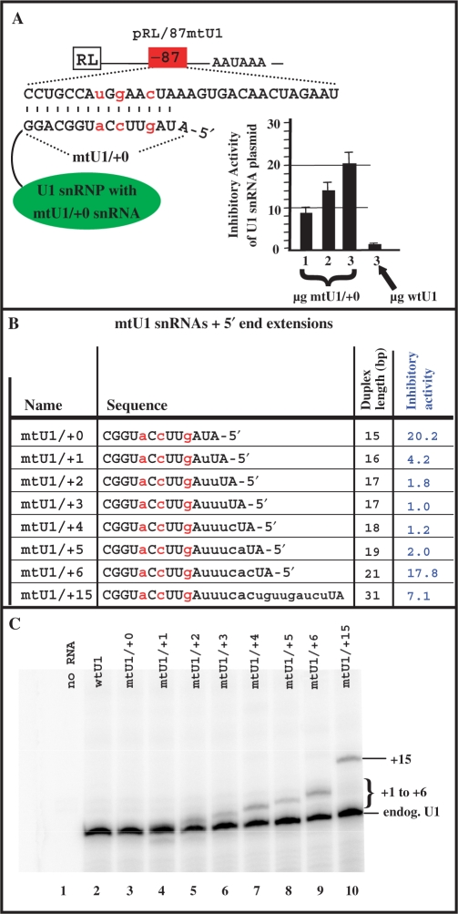 Inhibitory activity of U1 snRNAs having extended 5′ends. ( A ). Exogenous 5′-end mutated U1 snRNA inhibits the expression of the targeted Renilla reporter in a dose-dependent manner. HeLa cells were cotransfected with a Renilla pRL/87mtU1 reporter that contains a mtU1 binding site at position –87 and variable amounts (1, 2 or 3 µg) of mtU1/+0 plasmid that expresses a 5′-end mutated U1 snRNA designed to base pair to the mtU1-binding site as indicated. '+0' serves to indicate a normal length 5′ end as opposed to an extended 5′ end. As a control, a plasmid expressing wtU1 was used in place of the mtU1/+0 plasmid. In all cases, a firefly plasmid was also cotransfected for normalization purposes. The inhibitory activity of the mtU1/+0 plasmid was calculated by dividing the normalized Renilla activity of the transfection with the pRL/87mtU1 + wtU1 plasmids by the normalized Renilla activity of the transfection with the pRL/87mtU1 + mtU1/+0 plasmids. The wtU1 plasmid did not affect expression of pRL/87mtU1 and therefore had an inhibitory value set to 1.0. The standard deviations were calculated from three independent experiments. ( B ) 5′ end extended U1 snRNAs do not increase inhibitory activity. The plasmid that expresses mtU1/+0 was used as a parental vector to construct plasmids that express U1 snRNA extended at the 5′-end +1, +2, +3, +4, +5, +6 and +15 nt (mutU1/+1, mutU1/+2, etc.). These extensions increase the length of the duplex formed between pRL/87mtU1 pre-mRNA and the mtU1-derived snRNA. The sequence of the 5′ end of the U1 snRNA and the duplex length is indicated for each case. As described in (A), all plasmids were transfected along with pRL/87mtU1 and firefly luciferase and their relative inhibitory activities were calculated. The inhibitory activities are derived from five different experiments. Standard deviations are not shown but were
