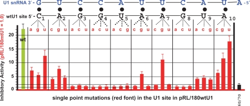 Analysis of single-point mutations of the U1-binding site. A saturation mutagenesis analysis was performed where all 30 possible single-point mutations were introduced in the 10-nt wtU1-binding site of the pRL/180wtU1 plasmid shown in the Supplementary Data Figure S1 . Each plasmid was cotransfected with the firefly luciferase control into HeLa cells and inhibitory activities were calculated as described in the Supplementary Data Figure. S1 . The results are plotted in a bars graph where error bars indicate standard deviations of five independent experiments. The sequence of the wtU1-binding site and its base pairing with the 11 nt of the 5′-end of U1 snRNA (blue font) is schematized above the graph. Each dotted line indicates the mutation (in red font) which is positioned above its corresponding bar graph representing the inhibitory activity of that mutation. The inhibitory activity of the reporter with a wtU1-binding site is shown in green to the left of the graph. The 6G and 7G single mutants were combined to give the 6G/7G double mutant whose activity is shown on the far right.