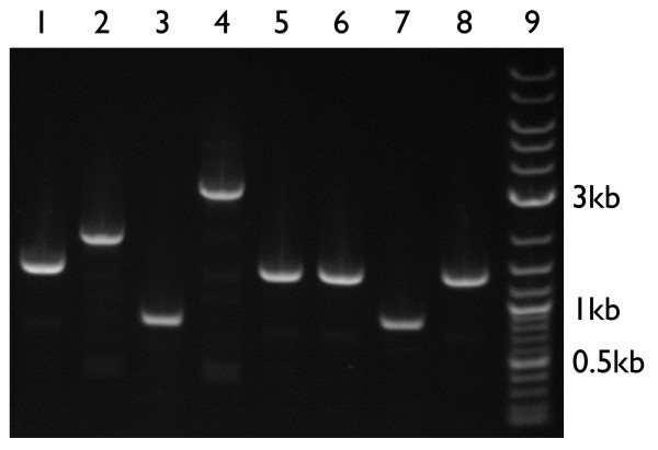 Using the new BioBrick vectors . To verify the function of the new BioBrick vectors, we performed a colony PCR using primers that anneal to the verification primer binding sites. To check the length of the resulting PCR products, we electrophoresed the reactions through an 0.8% agarose gel. Lanes 1–8 are the PCR products resulting from the amplification of the following BioBrick parts cloned into new BioBrick vectors. The desired PCR product lengths are in parentheses. Lane 1 is pSB4A5-I52001 (1370 bp), lane 2 is pSB4K5-T9003 (1883 bp), lane 3 is pSB4C5-E0435 (814 bp), lane 4 is pSB4T5-P20061 (2988 bp), lane 5 is pSB3K5-I52002 (1370 bp), lane 6 is pSB3C5-I52001 (1370 bp), lane 7 is pSB3T5-I6413 (867 bp), and lane 8 is BBa_I51020 (1370 bp). Lane 9 is 1 μ g of 2-log DNA ladder (New England Biolabs, Inc.). The 0.5 kb, 1 kb, and 3 kb DNA fragments in the DNA ladder are annotated.