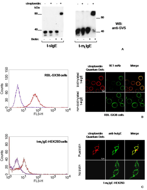 Biotinylation efficiency of secretory and membrane bound t-IgE . (A) Western blot gel retardation assay of supernatants (t-sIgE) or cell extracts (t-m L IgE) from transiently transfected cells expressing secretory or membrane bound t-IgE. Where indicated, cell cultures were supplemented with biotin for 24 h and supernatants (dialyzed) or cell extracts reacted with streptavidin. (B) Flow cytometry and immunofluorescence microscopy assay on RBL-SX38 cells expressing human FcεRI incubated with biotinylated (red) or non-biotinylated (violet) t-sIgE; mAb 9E1 was detected with FITC-conjugated anti-mouse IgG antibody. (C) Flow cytometry and immunofluorescence microscopy assay of t-m L IgE displayed on transiently transfected HEK293T/17 cells, cultured in the presence (red) or absence (green) of biotin.