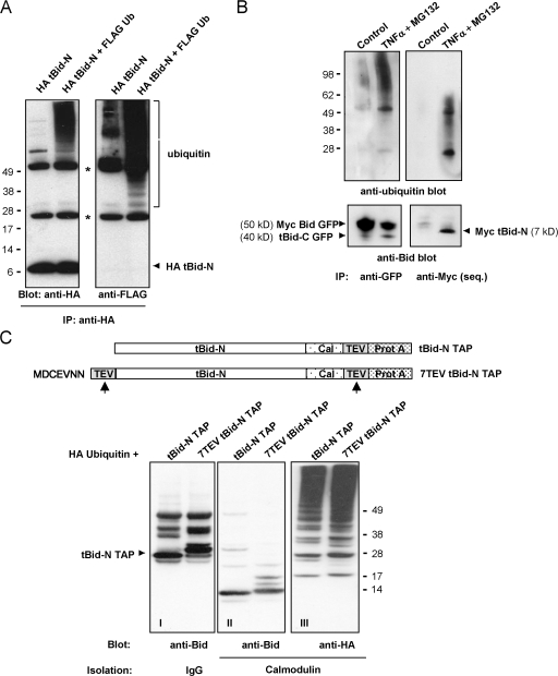tBid-N is ubiquitinated in an unconventional manner. (A) HeLa cells were transfected to express HA tBid-N alone or in combination with FLAG-tagged ubiquitin. HA tBid-N was immunoprecipitated and probed with an anti-HA mAb to detect Bid and probed with anti-FLAG mAb to detect ubiquitin. Asterisks indicate heavy and light chains of anti-HA mAb. (B) MCF-7 cells expressing Myc Bid GFP were stimulated with TNF-α in the presence of MG132 for 8 h or not stimulated (control). Lysates were immunoprecipitated with an anti-GFP antibody and immunoprecipitated sequentially (seq) with an anti-Myc mAb, and immunoprecipitates (IP) were probed with an anti-Bid antibody and a P4D1 anti-ubiquitin mAb. (C) Assay to determine whether the N terminus is ubiquitinated. In the diagram, the tBid-N TAP proteins are assessed for ubiquitination. Cal–TEV–Prot A indicates the TAP tag with calmodulin- and IgG-binding sites separated by a cleavage site for TEV protease (arrows). HeLa cells were transfected to express HA-ubiquitin and TAP-tagged tBid-N. TAP-tagged tBid-N proteins were isolated with IgG beads, digested with TEV protease, and reisolated with calmodulin beads. Isolates were probed for ubiquitin with an anti-HA mAb and for tBid-N with an anti-Bid antibody. Note that in I, the Prot A sequence is still attached to the tBid-N TAP species and the anti-Bid antibody binds to it. Molecular masses (kD) of marker proteins are indicated.