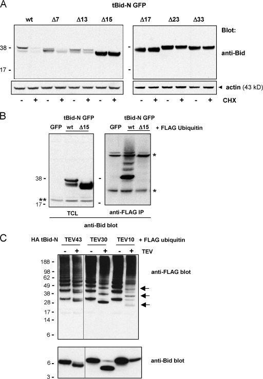 Helix 1 is critical for tBid-N ubiquitination and degradation. (A) Wild-type (wt) tBid-N GFP and deletion (Δ) mutants lacking 7, 13, 15, 17, 23, or 33 N-terminal amino acids were expressed in HeLa cells, which were treated (+) or not (−) with CHX for 8 h. The tBid-N GFP proteins were detected in total lysates by immunoblotting with anti-Bid antibody. (B) GFP, wt, and Δ15 tBid-N GFP were expressed in HeLa cells together with FLAG-tagged ubiquitin. Total cell lysates (TCL) were probed with an anti-Bid antibody to assess tBid-N expression levels. Ubiquitinated protein species were isolated with an anti-FLAG mAb (IP) and probed with an anti-Bid antibody. Single asterisk indicates heavy and light chains of the anti-FLAG mAb; double asterisk indicates endogenous full-length Bid. (C) FLAG-tagged ubiquitin was coexpressed in HeLa cells with HA tBid-N versions with a TEV protease cleavage site at position 10, 30, or 43. HA tBid-N molecules were isolated, incubated with (+) or without (−) TEV protease, run on a gel, and probed by immunoblotting for Bid and ubiquitin (anti-FLAG). In the case of HA tBid-N TEV 10, the HA-tagged cleavage fragment repeatedly did not resolve on gel but the remaining undigested HA tBid-N TEV 10 and weakly ubiquitinated species of the cleavage fragment (arrows) are clearly visible. All experiments in this figure were performed three times with similar results. Molecular masses (kD) of marker proteins are indicated.