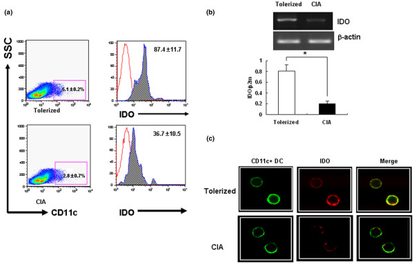 Oral tolerance induction in indoleamine 2,3-dioxygenase-expressing CD11c + dendritic cells of tolerized mice. The induction of oral tolerance increases the proportion of indoleamine 2,3-dioxygenase (IDO)-expressing CD11c + dendritic cells (DCs) in Peyer's patches of tolerized mice. (a) Flow <t>cytometric</t> analysis of IDO in CD11c + DCs isolated from Peyer's patches. Mononuclear cells obtained from Peyer's patches of tolerized mice and of CIA mice were probed with Fluorescein isothiocyanate-labeled anti-CD11c mAb and were fixed with CytoPerm/CytoFix for 20 minutes. Cells were probed for intracellular IDO using anti-mouse IDO antibody and were analyzed by flow cytometry. The histograms were gated on CD11c + DCs. Dotted histogram lines represent cells stained with isotype-matched control monoclonal antibodies. Results are the mean ± standard deviation of replicate samples from seven independent experiments. SSC. (b) Analysis of IDO transcription in tolerized mice and CIA mice. CD11c + DCs were isolated from Peyer's patch mononuclear cells using the magnetic-activated cell sorting system. The expression of IDO mRNA was analyzed using RT-PCR. β 2 -Actin was used as an internal control. Each value is the mean ± standard deviation of replicate determinations in one of four experiments. * P