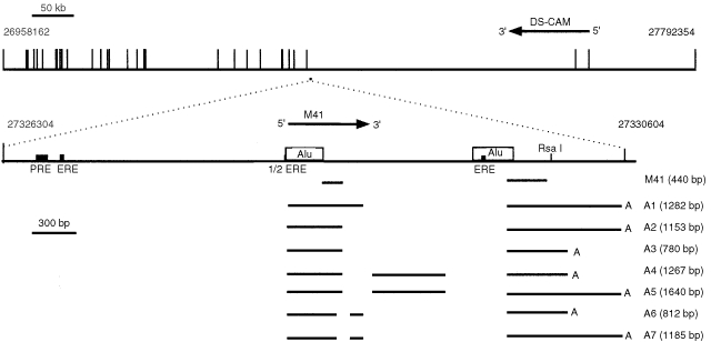 Alignment of the M41 gene and M41 transcripts. The gene region of chromosome 21q22.1 is shown at the top with the exons of the DS-CAM gene shown as vertical bars. The location of the M41 gene is shown as a square to scale beneath the genomic DNA and expanded beneath. The location of response elements for oestrogen (ERE) and progesterone (PRE) and Alu sequences are shown. The region of the original M41 cDNA isolated from the MCF-7 subtracted library, and processing variants of M41 mRNA (A1–A7) obtained from the RACE reactions are shown as horizontal bars with gaps indicating the intronic regions. Numbering refers to the base number of contig NT_011512.3. The 5′ intron exon boundaries revealed by the RACE reactions at 27328651, 27328698, 27328827, 27329381, and the 3′ intron exon boundaries at 27328749, 27328894, 27329821 (enumeration of contig NT_011512.3) all contained conserved GT / AG sequences and exhibited 62.5, 75, 87.5, 100, 75, 93.75, and 81.25% identity, respectively, to the consensus sequences for 5′ or 3′ intron exon boundaries ( Mount, 1982 ). The symbols (A) at the ends of the lines indicate the poly(A) addition sites. Variants contained one of two alternative poly(A) addition sites (at 27330601 and 27330228 of NT_011512.3), with a consensus AATAAA poly(A)-addition signal, 29 and 19 nucleotides upstream of the poly(A)-addition sites, respectively. The lengths of the proposed mRNA variants arising from the 7 alternatively-spliced exons correspond broadly to the sizes of two of the bands observed in the Northern blot for the mammary tumour cell line MCF-7 ( Figure 1 ), strongly suggesting that the RACE products are defining near full length mRNAs. Horizontal arrows indicate the direction of transcription of the genes.
