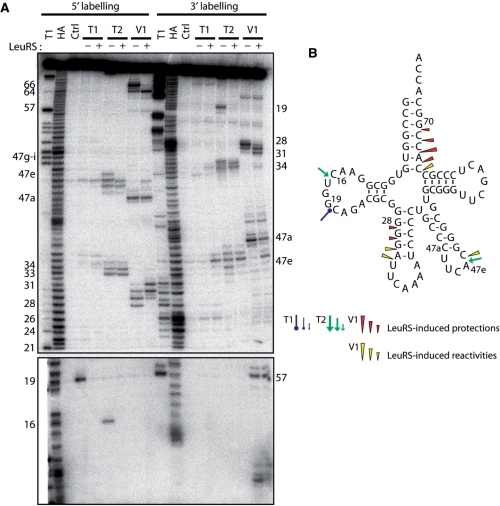 Nuclease probing of Aa tRNA Leu CAA in the free form or in complex with Aa LeuRS. ( A ) tRNA Leu CAA was labeled at its 5′-end or 3′-end. Probing was done in the presence (+) or absence (−) of LeuRS. OH and T1 are ladders of the tRNA under the denaturing condition; Ctrl is the control without any probe. The probes comprised RNase T1, RNase T2 and RNase V1. Numbers refer to tRNA nucleotide positions. ( B ) Cloverleaf structure of tRNA summarizing the reactivity changes observed in the tRNA following Aa LeuRS binding. The symbols and color codes for the probes are indicated in the figure. Three intensities of cuts/modifications for each probe are shown (strong, medium and moderate).