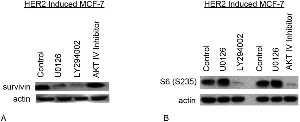 Signaling pathways involved in survivin regulation in HER2 over expressing MCF7cells . A- HER2 induced MCF7 cells were incubated for 48 hours with specific inhibitors of PI3K (10 μM LY294002) AKT1/2/3 (15 μM AKT IV Inhibitor) and ERK1/2 (10 μM U0126) or without inhibitor (control) and analyzed by western blotting for expression of survivin. B- To confirm the inhibition of AKT and PI3K, HER2 induced MCF7 cells were incubated for 48 hours with specific inhibitors of PI3K (10 μM LY294002) AKT1/2/3 (15 μM AKT IV Inhibitor). ERK1/2 (10 μM U0126) and without inhibitor MCF-7 cells were used as controls, and analyzed by western blotting for expression of phospho-ribosomal protein S6 (S235).
